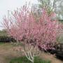 Цветение персика. Весна 2016