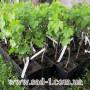 Саженцы винограда  в контейнере