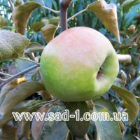 Саженцы яблони Скифское золото
