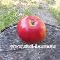 Саженцы яблони Эрли Женева