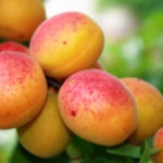 Саженцы абрикоса Особенный Денисюка