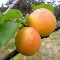 Саженцы абрикоса Перла