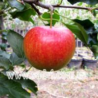 Саженцы яблони Элиза