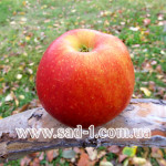 Саженцы яблони Эрли Квин