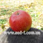 Саженцы яблони Фуджи Кику 8