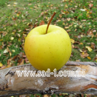 Саженцы яблони Голден Рейндерс