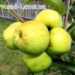 Саженцы яблони Голден Делишес