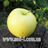 Саженцы яблони Горынь