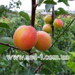 Саженцы абрикоса Форум