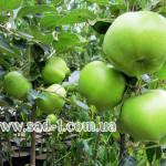 Саженцы яблони Кальвиль Донецкий