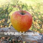 Саженцы яблони Кинг Джонаголд