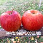Саженцы яблони Моренс Джонагоред (Горец)