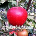 Саженцы яблони Ред Джонапринц (Чёрный Принц)