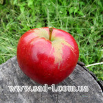 Саженцы яблони Салгирское