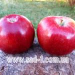 Саженцы яблони Мекинтош