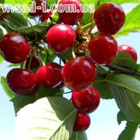 Саженцы Чудо-вишни