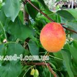 Саженцы абрикоса Крымский медунец