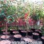 саженцы вишни 3 года