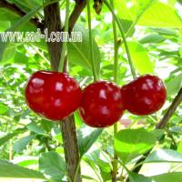 Саженцы вишни Мелитопольская радость