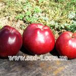 Саженцы яблони Старкрымсон
