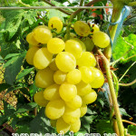 Саженцы винограда Элегант сверхранний