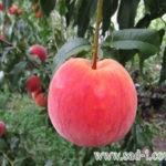 Саженцы персика Вайн Голд Т-3
