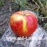 Саженцы яблони Вильмута Джонагоред