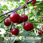Саженцы вишни Подбельская