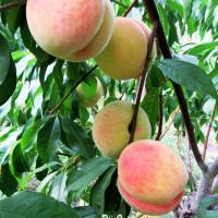 Саженцы персика Дружба