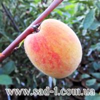 Саженцы персика Памяти Гришко