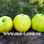 Саженцы яблони Кальвиль Снежный
