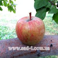 Саженцы яблони Фуджи Ятака