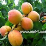 Саженцы абрикоса Монастырский