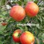 Яблоко Джонаголд