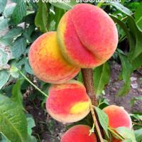 Саженцы персика Канадиан Хармони