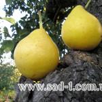 Саженцы груши Лимонка