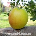 Саженцы яблони Синап Белый