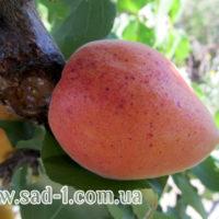 Саженцы абрикоса Сирена