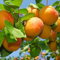 Саженцы абрикоса Ледана