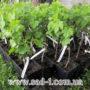 Саженцы винограда в контейнере.