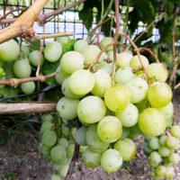 Саженцы винограда Кеша FV-6-5