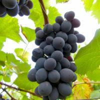 Саженцы винограда кишмиш Юпитер США