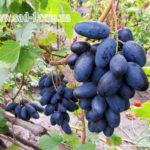 Саженцы винограда Велика