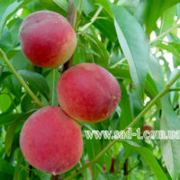 Саженцы персика Казахстанский ранний