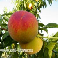 Саженцы персика Княжья Роскошь