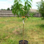 Саженец персика 2 года
