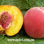 Саженцы персика Сенхейвен