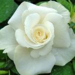 Саженцы чайно-гибридной розы Аваланж