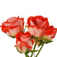 Саженцы чайно-гибридной розы Оранж (спрей)