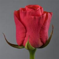 Саженцы чайно-гибридной розы розы Ред Вау